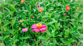 Η ρόδινη Zinnia Flower Blooming στοκ φωτογραφία με δικαίωμα ελεύθερης χρήσης