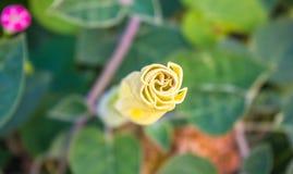 Η σάλπιγγα του διαβόλου, Datura metel, στον κήπο, κλείνει επάνω στοκ φωτογραφία με δικαίωμα ελεύθερης χρήσης