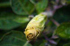 Η σάλπιγγα του διαβόλου, Datura metel, στον κήπο, κλείνει επάνω στοκ εικόνα