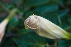 Η σάλπιγγα του διαβόλου, Datura metel, στον κήπο, κλείνει επάνω στοκ εικόνες με δικαίωμα ελεύθερης χρήσης
