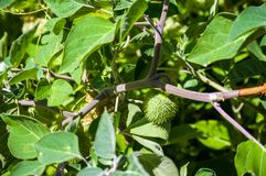Η σάλπιγγα του διαβόλου, Datura metel, στον κήπο, κλείνει επάνω στοκ φωτογραφίες