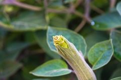 Η σάλπιγγα του διαβόλου, Datura metel, στον κήπο, κλείνει επάνω στοκ εικόνες