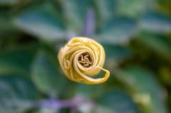 Η σάλπιγγα του διαβόλου, Datura metel, στον κήπο, κλείνει επάνω στοκ εικόνα με δικαίωμα ελεύθερης χρήσης
