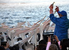 Η σίτιση πελεκάνων παρουσιάζει στην είσοδο Στοκ φωτογραφία με δικαίωμα ελεύθερης χρήσης