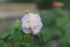 Η σειρά λουλουδιών φθινοπώρου, ρόδινο βαμβάκι αυξήθηκε Στοκ Φωτογραφίες