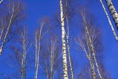 η σημύδα φθινοπώρου διακλαδίζεται χρωματισμένος κορμός δέντρων φύλλων Στοκ Φωτογραφία