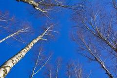 η σημύδα φθινοπώρου διακλαδίζεται χρωματισμένος κορμός δέντρων φύλλων Στοκ φωτογραφία με δικαίωμα ελεύθερης χρήσης
