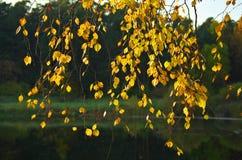 Η σημύδα φθινοπώρου διακλαδίζεται κοντά σε μια δασική λίμνη Στοκ Εικόνες
