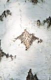 η σημύδα φλοιών απομόνωσε το λευκό Στοκ Φωτογραφίες