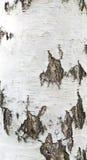 η σημύδα φλοιών απομόνωσε το λευκό Στοκ φωτογραφία με δικαίωμα ελεύθερης χρήσης