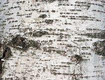 η σημύδα φλοιών απομόνωσε το λευκό Στοκ εικόνες με δικαίωμα ελεύθερης χρήσης