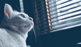 Η σιαμέζα γάτα κάθεται στο κρεβάτι και να φανεί έξω παράθυρο, άσπρη γάτα με τα μπλε μάτια που εξετάζει τα πουλιά Στοκ Φωτογραφία