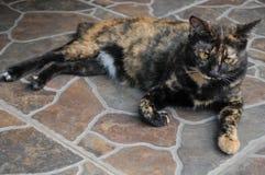 Η σιαμέζα γάτα κάθεται στο κρεβάτι και να φανεί έξω παράθυρο, άσπρη γάτα με τα μπλε μάτια που εξετάζει τα πουλιά Στοκ Εικόνα