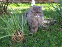 Η σιβηρική γάτα κάθεται Στοκ εικόνα με δικαίωμα ελεύθερης χρήσης