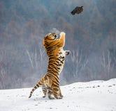 Η σιβηρική τίγρη σε ένα άλμα πιάνει το θήραμά της Πολύ δυναμικός πυροβολισμός Κίνα Χάρμπιν Επαρχία Mudanjiang Πάρκο Hengdaohezi στοκ φωτογραφίες με δικαίωμα ελεύθερης χρήσης