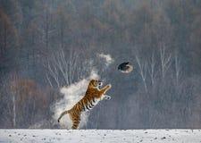 Η σιβηρική τίγρη σε ένα άλμα πιάνει το θήραμά της Πολύ δυναμικός πυροβολισμός Κίνα Χάρμπιν Επαρχία Mudanjiang Πάρκο Hengdaohezi στοκ φωτογραφίες