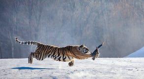Η σιβηρική τίγρη σε ένα άλμα πιάνει το θήραμά της Πολύ δυναμικός πυροβολισμός Κίνα Χάρμπιν Επαρχία Mudanjiang Πάρκο Hengdaohezi στοκ φωτογραφία