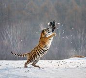 Η σιβηρική τίγρη σε ένα άλμα πιάνει το θήραμά της Πολύ δυναμικός πυροβολισμός Κίνα Χάρμπιν Επαρχία Mudanjiang Πάρκο Hengdaohezi στοκ εικόνα με δικαίωμα ελεύθερης χρήσης
