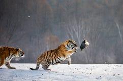 Η σιβηρική τίγρη σε ένα άλμα πιάνει το θήραμά της Πολύ δυναμικός πυροβολισμός Κίνα Χάρμπιν Επαρχία Mudanjiang Πάρκο Hengdaohezi στοκ εικόνες