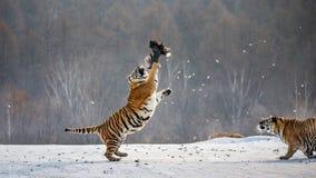 Η σιβηρική τίγρη σε ένα άλμα πιάνει το θήραμά της Πολύ δυναμικός πυροβολισμός Κίνα Χάρμπιν Επαρχία Mudanjiang Πάρκο Hengdaohezi στοκ εικόνα