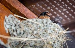 Η σιταποθήκη καταπίνει το νεοσσό Στοκ φωτογραφία με δικαίωμα ελεύθερης χρήσης