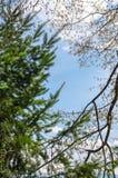Η σιωπηλή αντιπαράθεση μεταξύ ενός κωνοφόρου και ενός αποβαλλόμενου δέντρου πλατύφυλλων πέρα από τον μπλε νεφελώδη ουρανό έναν θε Στοκ Εικόνα