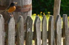 Η σκαρφαλωμένη Robin στοκ εικόνα με δικαίωμα ελεύθερης χρήσης