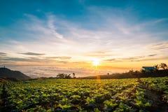 Η σκηνή της Ταϊλάνδης για το μεγάλο αγρόκτημα λάχανων στο βουνό, pH Στοκ Εικόνες