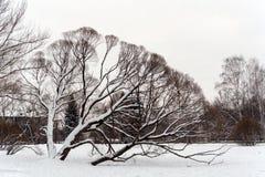 Η σκιαγραφία της μεγαλοπρεπούς ιτιάς στο πάρκο πόλεων στοκ εικόνα