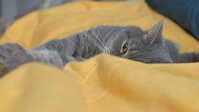 Η σκωτσέζικη γάτα βρίσκεται σε ένα κρεβάτι απόθεμα βίντεο