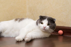Η σκωτσέζικη γάτα δεν θέλει να παίξει με τη λαστιχένια σφαίρα του στοκ εικόνες