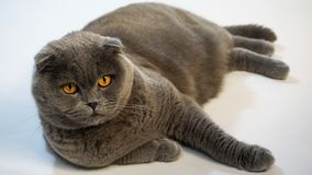 Η σκωτσέζικη γάτα πτυχών βρίσκεται στο πάτωμα που αντιμετωπίζει προς τα εμπρός στοκ εικόνα με δικαίωμα ελεύθερης χρήσης