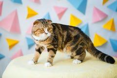 Η σκωτσέζικη γάτα πτυχών είναι στο μαξιλάρι πουφ στοκ φωτογραφία με δικαίωμα ελεύθερης χρήσης
