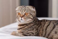 Η σκωτσέζικη γάτα πτυχών κοιτάζει επίμονα τα πορτοκαλιά μάτια της Στοκ φωτογραφία με δικαίωμα ελεύθερης χρήσης