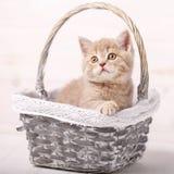 Η σκωτσέζικη γάτα στενών χρώματος κρέμας κάθεται σε ένα ψάθινο καλάθι γατάκι εύθυμο Στοκ εικόνα με δικαίωμα ελεύθερης χρήσης