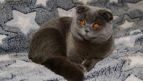 Η σκωτσέζικη γκρίζα γάτα πτυχών περιστρέφεται το κεφάλι του φιλμ μικρού μήκους