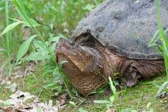 Η σπάζοντας απότομα χελώνα αυξάνει το κεφάλι της Στοκ εικόνα με δικαίωμα ελεύθερης χρήσης