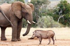 Η στάση και κοιτάζει επίμονα σε σας - αφρικανικός ελέφαντας του Μπους Στοκ Εικόνα
