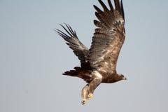Η στέπα EagleTaking από το ΠΆΡΚΟ RAJASTHAN ΑΡΠΑΚΤΙΚΏΝ ΠΤΗΝΏΝ JORBEER Στοκ φωτογραφίες με δικαίωμα ελεύθερης χρήσης