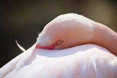 Η στήριξη αυξήθηκε roseus Phoenicopterus φλαμίγκο Στοκ φωτογραφίες με δικαίωμα ελεύθερης χρήσης