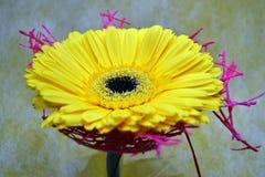 Η στενή φωτογραφία του κίτρινου λουλουδιού gerber Στοκ Εικόνες