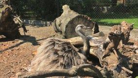 Η στρουθοκάμηλος κάθεται κοντά σε μια σύνδεση έναν ζωολογικό κήπο απόθεμα βίντεο