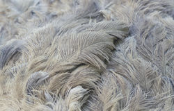 Η στρουθοκάμηλος επενδύει με φτερά την κινηματογράφηση σε πρώτο πλάνο Στοκ Φωτογραφία