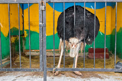 Η στρουθοκάμηλος στο ζωολογικό κήπο Στοκ φωτογραφία με δικαίωμα ελεύθερης χρήσης