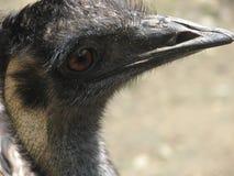 Η στρουθοκάμηλος στρουθοκαμήλων head Στοκ Φωτογραφία