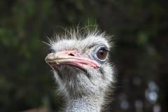 Η στρουθοκάμηλος στρουθοκαμήλων head Στοκ Φωτογραφίες