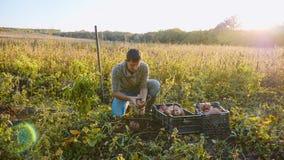 Η συγκομιδή της Farmer και βάζει τη γλυκιά πατάτα στο κιβώτιο στον τομέα του αγροκτήματός του στοκ φωτογραφία με δικαίωμα ελεύθερης χρήσης