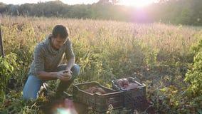 Η συγκομιδή της Farmer και βάζει τη γλυκιά πατάτα στο κιβώτιο στον τομέα του αγροκτήματός του απόθεμα βίντεο