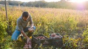 Η συγκομιδή της Farmer και βάζει τη γλυκιά πατάτα στο κιβώτιο στον τομέα του αγροκτήματός του στοκ εικόνες