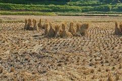 η συγκομιδή του αγροκτήματος ρυζιού Στοκ Εικόνα